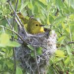 """Yellow Warbler Photograph"" by ArtLoversOnline"