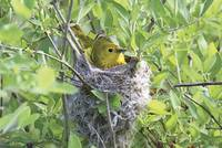 Yellow Warbler Photograph