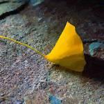 """""""Yellow Leaf"""" by artstoreroom"""