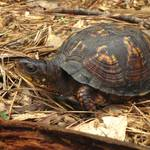 """Eastern Box Turtle"" by Exedra"