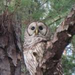 """Spotted Owl"" by Exedra"