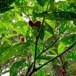 """Acuba Plant"" by Exedra"