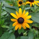 """Black-eyed Susan"" by Exedra"