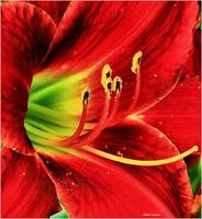 Red Lilly Closeup