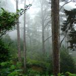 """""""Foggy Forest"""" by alymariephotography"""