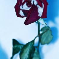 December Rose Art Prints & Posters by GypsyMoon Photography