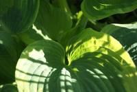 lighted hosta