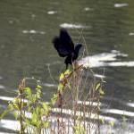 """Blackbird"" by ArtlbyYelena"