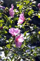 Beauty Rose of Sharon