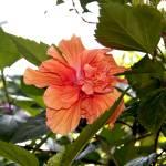 """Fluffy Hibiscus 1"" by ArtlbyYelena"