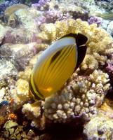 single butterflyfish