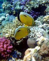 exquiste butterflyfish with coral