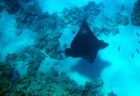 eagleray