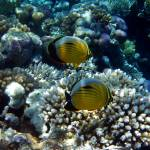 """exquisite butterflyfish"" by phototes"