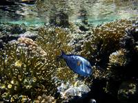 low tide surgeonfish