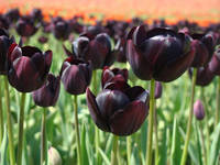 Tulip Festival art prints Deep Purple Tulips