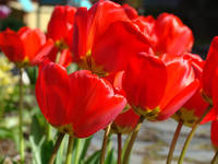 Red Tulip Flowers art prints Floral Garden