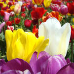 """Office art prints Colorful Tulip Flowers Garden"" by BasleeTroutman"
