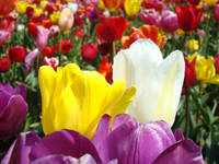 Office art prints Colorful Tulip Flowers Garden
