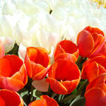 """Office art White Red Orange Tulip Festival Flowers"" by BasleeTroutman"