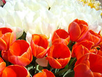 Office art White Red Orange Tulip Festival Flowers