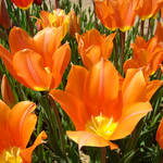 """Tulips Flowers Bright Orange Tulip Floral Garden"" by BasleeTroutman"