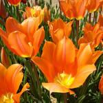 """""""Tulips Flowers Bright Orange Tulip Floral Garden"""" by BasleeTroutman"""