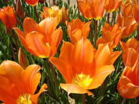 Tulips Flowers Bright Orange Tulip Floral Garden