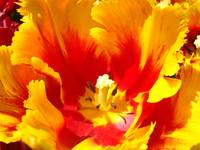 Yellow Red Tulip Flower Floral art prints