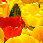 """Red Yellow Tulip Flowers Colorful art prints"" by BasleeTroutman"