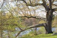 The Sturdy Oak at Hopedale Pond