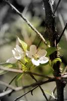 apple blossoms 8