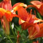 """""""orange lilies"""" by StephanieP"""