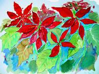 poinsettia sketch #8