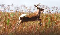 White Tailed Buck in Cornfield