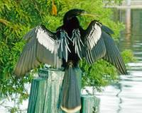Anhinga Bird Wildlife