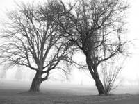 Dancing Trees in Fog