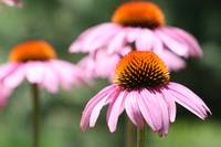 Purple Coneflowers 2