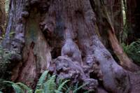 Burled Redwood Trunk