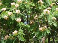 Momossa Tree in Bloom