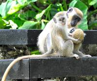 Green Monkey Family