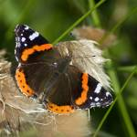 """Red Admiral"" by terrycatton"