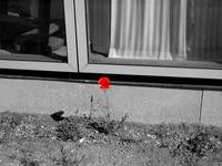 Pleasantville Poppy: Sweden