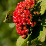 """Red Berries"" by terrycatton"
