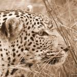 """leopard"" by Permen_Mata"