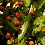 """Raspberries"" by marytrostle"