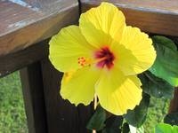 Yellow and red Hibiscus flower