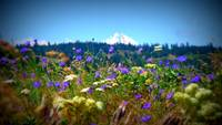 Mt. Hood with Rowena wildflowers