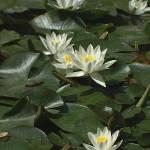 """Lilies"" by vlasta"