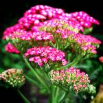 """Pink Yarrow"" by rewards4life"